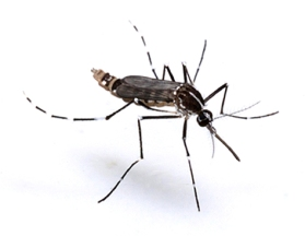 aedes-4